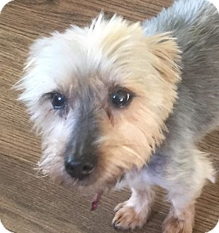 Yorkie, Yorkshire Terrier Dog for adoption in Los Angeles, California - Willy