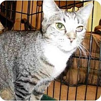Domestic Shorthair Cat for adoption in East Stroudsburg, Pennsylvania - Jessie