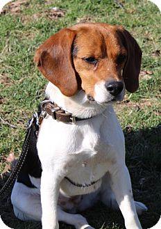 Beagle Mix Dog for adoption in Nicholasville, Kentucky - Heidi