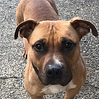 Adopt A Pet :: HONEY (Auburn) Can I be your running buddy? - Bainbridge Island, WA