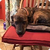 Adopt A Pet :: Amber Cat-Friendly Gentle Family Doggie - Rowayton, CT