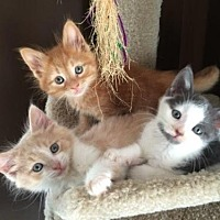 Adopt A Pet :: A bunch of kittens - Hamilton, ON