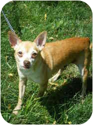 Chihuahua Dog for adoption in Milwaukee, Wisconsin - Brownie