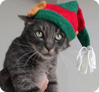 Domestic Shorthair Cat for adoption in Laguna Woods, California - Mordecai