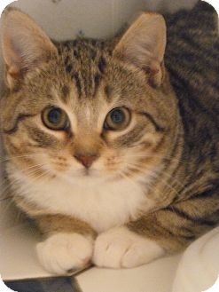 Domestic Mediumhair Kitten for adoption in Island Park, New York - Chubbs