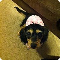 Adopt A Pet :: Sandy - Denver, CO
