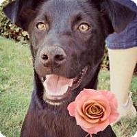 Adopt A Pet :: Amy - Justin, TX