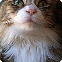 Adopt A Pet :: Socks - Modesto, CA