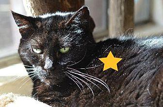 Domestic Shorthair Cat for adoption in Atlanta, Georgia - Sheena Bear 11220