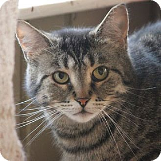 Domestic Shorthair Cat for adoption in Verdun, Quebec - Mitsou