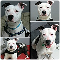 Adopt A Pet :: Petey - Forked River, NJ