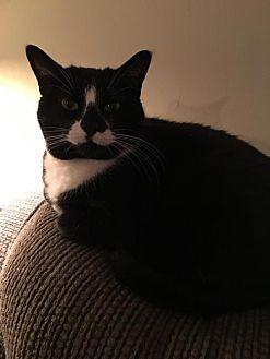 Domestic Shorthair Cat for adoption in Trexlertown, Pennsylvania - LOLA*
