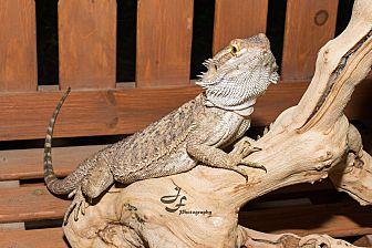 Lizard for adoption in Manhattan, Kansas - Bowser