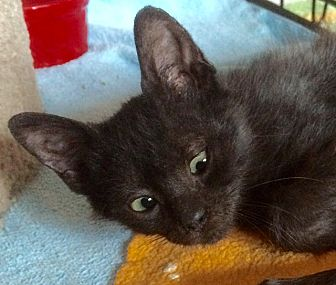 Domestic Shorthair Kitten for adoption in Tampa, Florida - Templeton