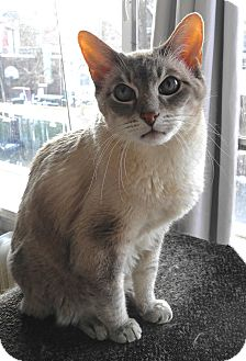Siamese Cat for adoption in Toronto, Ontario - Champ