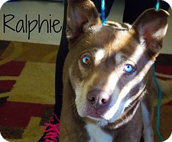 Husky Mix Dog for adoption in Defiance, Ohio - Ralphie