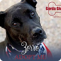 Labrador Retriever Mix Dog for adoption in Tucson, Arizona - Zorro