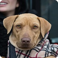 Adopt A Pet :: Ingrid Bergman - Brooklyn, NY