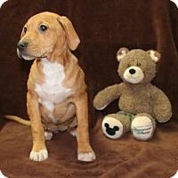 Adopt A Pet :: Ginger - Salem, NH