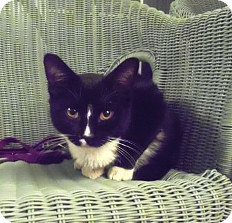 Domestic Shorthair Kitten for adoption in Catasauqua, Pennsylvania - Springer