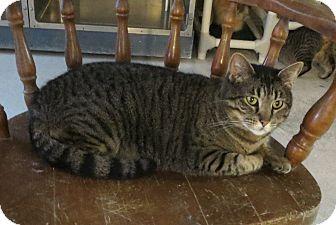 Domestic Shorthair Cat for adoption in Geneseo, Illinois - Semra