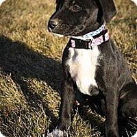 Adopt A Pet :: Tootsie PicklePants - Broomfield, CO