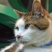 Domestic Shorthair Cat for adoption in Akron, Ohio - Pilgrim
