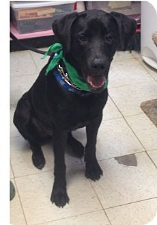 Labrador Retriever/Great Dane Mix Dog for adoption in Maryville, Illinois - Brody