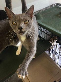 Domestic Shorthair Cat for adoption in Thibodaux, Louisiana - Sadie FE1-9165