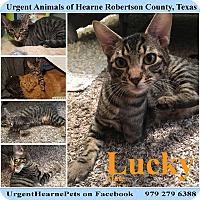 Domestic Shorthair Kitten for adoption in Hearne, Texas - Lucky