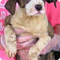 Adopt A Pet :: Samantha - Livingston, TX