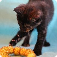 Adopt A Pet :: Petunia - Spring Valley, NY