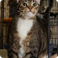 Domestic Shorthair Cat for adoption in Fallbrook, California - Benny