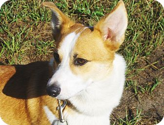 Corgi Dog for adoption in Jacksonville, Florida - Dwight