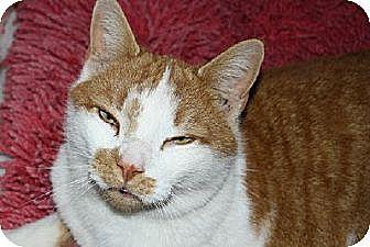 Domestic Shorthair Cat for adoption in Ephrata, Pennsylvania - Simon