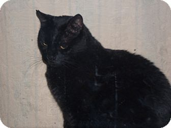 Domestic Shorthair Cat for adoption in Loveland, Colorado - Marrow