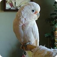Cockatoo for adoption in Northbrook, Illinois - Leo
