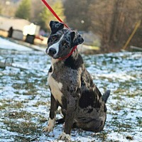 Catahoula Leopard Dog Mix Dog for adoption in Prestonsburg, Kentucky - charliegh