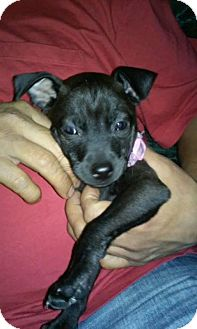 Chihuahua/Terrier (Unknown Type, Small) Mix Puppy for adoption in San Antonio, Texas - Dee Dee