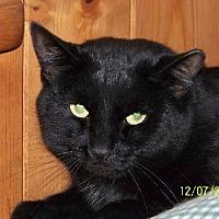 Domestic Shorthair Cat for adoption in Grantville, Pennsylvania - Stokely
