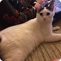 Siamese Cat for adoption in Canton, Ohio - Snowshoe