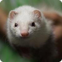 Adopt A Pet :: ZaZa - Balch Springs, TX
