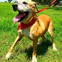 Labrador Retriever Mix Dog for adoption in Huntington, New York - Jude - N