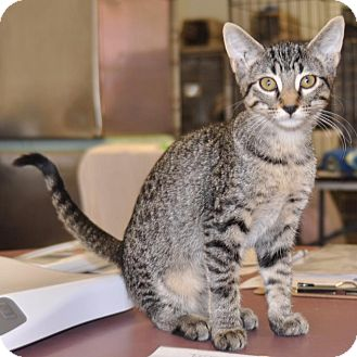 Domestic Shorthair Cat for adoption in Sunrise Beach, Missouri - Clarice