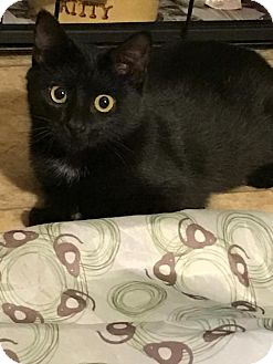 Domestic Shorthair Kitten for adoption in Parker Ford, Pennsylvania - Benz