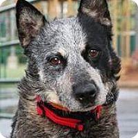 Australian Cattle Dog Dog for adoption in Alpharetta, Georgia - Kibbles