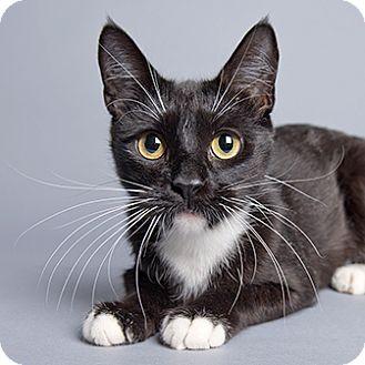 Domestic Shorthair Cat for adoption in Wilmington, Delaware - Usagi