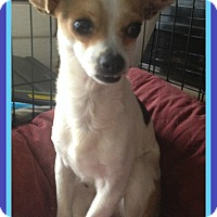 Chihuahua Dog for adoption in Albany, New York - APOLLO
