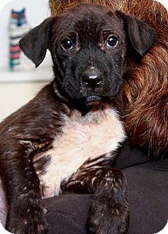 Labrador Retriever/Airedale Terrier Mix Puppy for adoption in Mt. Prospect, Illinois - Diamond