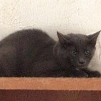 Manx Cat for adoption in Flintstone, Maryland - Spiker